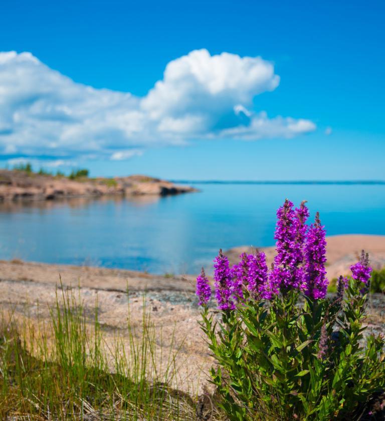 Öar, hav och strandblommor en solig dag på Åland